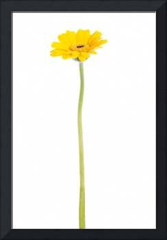 One separate yellow gerbera flower. Isolated on wh
