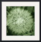 Seed Head 5629 by Jacque Alameddine