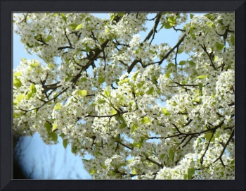 TREE Blossoms 29 White Flowers Blue Sky Art
