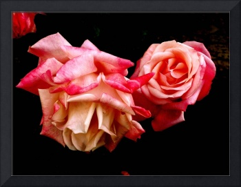 2 Large Pink Antique Roses on Black