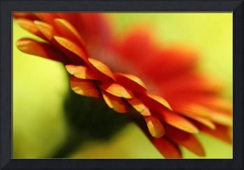 Orange Gerbera Flower Wall Art