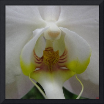 The Whisper - Phalaenopsis Orchid