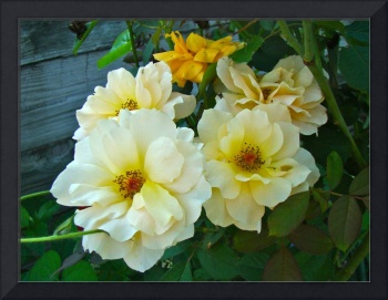 Old Time Yellow Roses