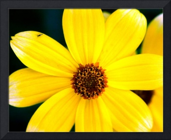 1 Yellow Daisy