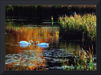 Two Swans In Autumn