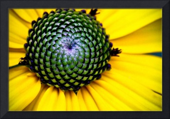YELLOW BLOSSOM OF THE GOLDSTURM BLACK EYED SUSAN