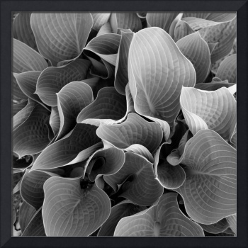 Hosta Black n' White