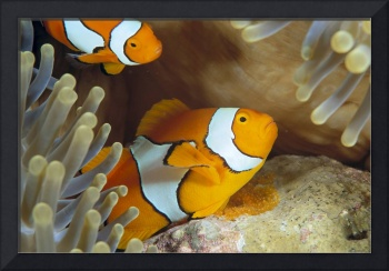 Indonesia, Clownfish Guards Egg Mass