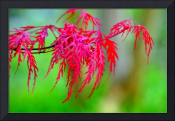 Red Lace Leaf Maple