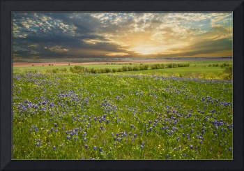 Bluebonnet Glory