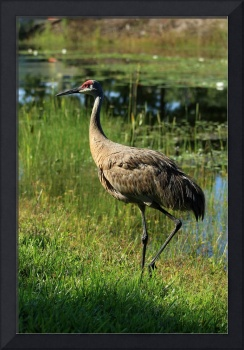Sandhill Crane Next to a Lake