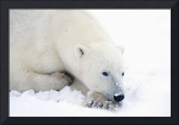 Polar Bear During A Very Peaceful Rest Churchill,