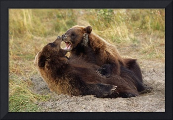 Adolescent Brown Bears Wrestling, Alaska Wildlife