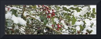 Close-up of holly berries covered with snow on a