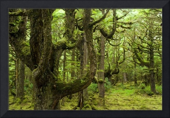 Old Growth Hemlock Trees, Queen Charlotte Islands,