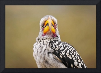 WCC_2511- Yellow-billed Hornbill_