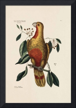 Mark Catesby~The Parrot of Paradise of Cuba, Red-W