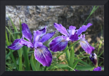 Purple Irises with Gray Rocks