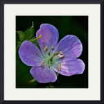 Wild Geranium by Jim Bavosi