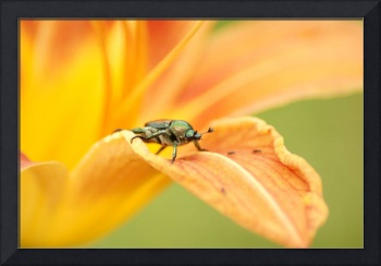 Japanese Beetle On Lily