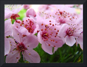 Tree BLOSSOMS Spring Nature Fine Art