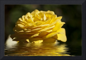Yellow Rose Flood