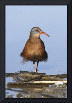 Virginia Rail Photograph