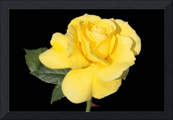 Brillant Yellow Rose