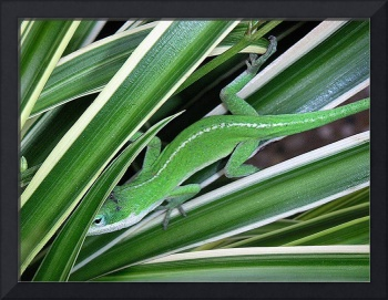 Anole Hiding In Spider Plant