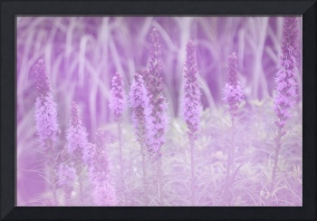 Lovely Liatris