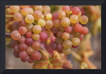 Red Grapes Clusters 2