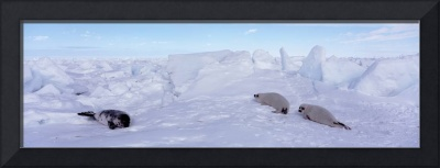 Harp Seals Gulf of St Lawrence Canada