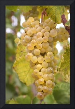 Autumn Delicacy. Taste of Grapes
