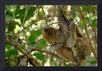 Casual_2015 07 27_0443    Two-Toed Sloth