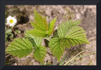 Young small raspberry plant.