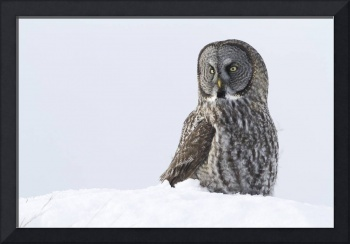 Great Gray Sitting In Snow, Anchorage, Southcentra