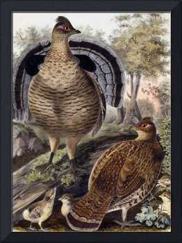 Ruffed Grouse, 1865 (hand-coloured lithograph)