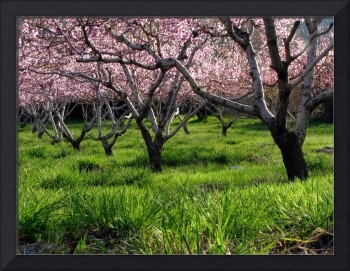Peach Orchard In Bloom