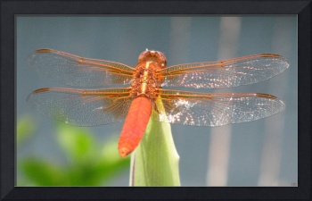 Vibrance II - Dragonfly