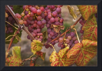Red Grapes Clusters 4