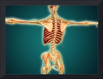 Back view of human skeleton with nervous system, a