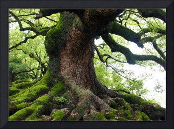Old Tree in Kyoto