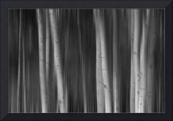 Autumn Aspen Trees Dreaming BW