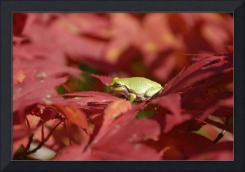 Green tree frog on red leaves