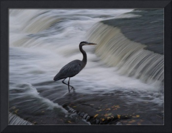 Heron - Braving the Rapids