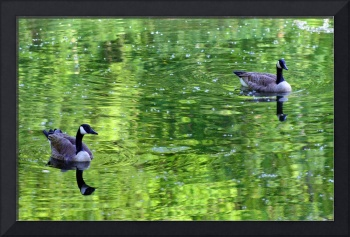 Geese in Green Water