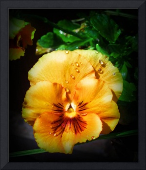 Beautiful Orange Pansy