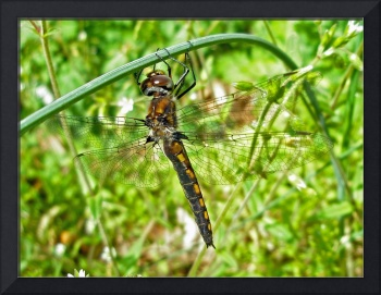 Hanging Out - Dragonfly