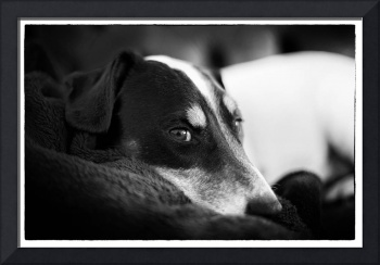Jack Russell Terrier Portrait in Black and White
