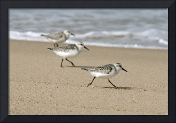 Cape Cod Sanderlings